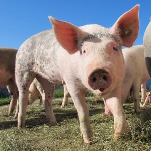 Brevis Swine Flu